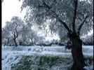 olivenbaum im schnee