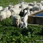 Schafe auf dem Bauernhof, wo das Cena sarda stattfindet